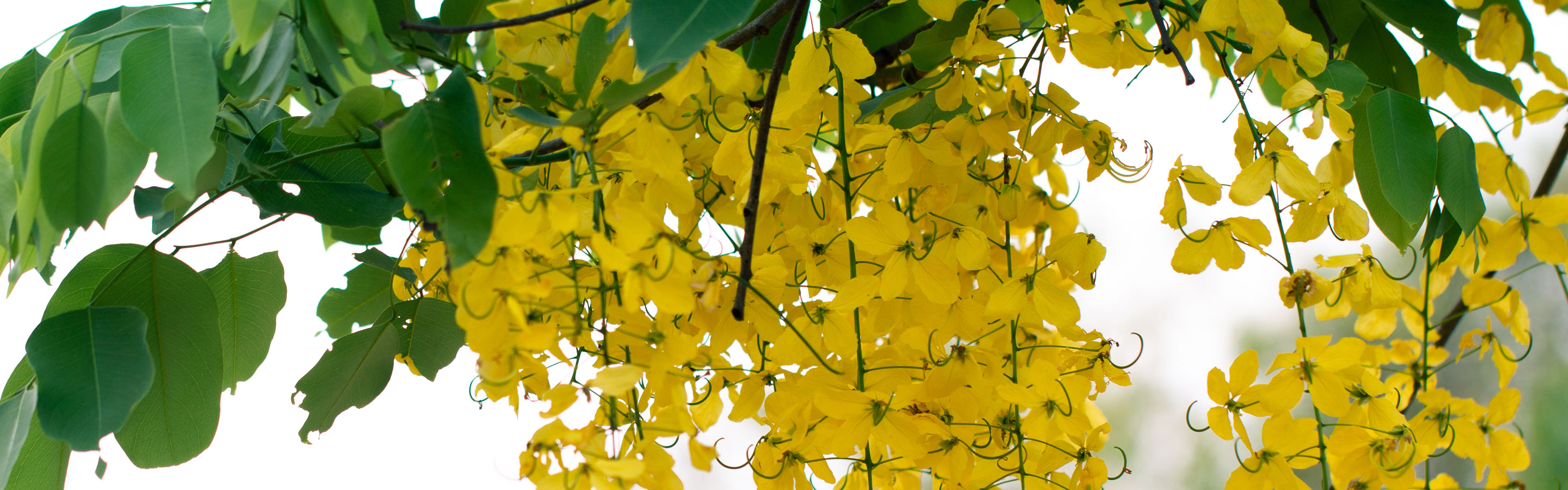 Do You Know, Cassia fistula is a stimulant laxative at par with…